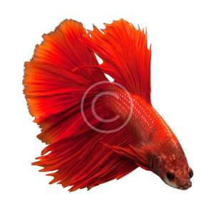 Siamese Fighting Fish, Red